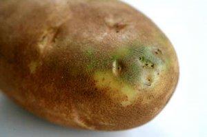 Можно ли есть зеленый картофель?