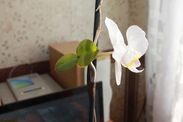 Орхидея - размножение детками в домашних условиях фото