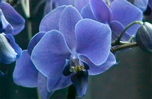 Орхидеи фаленопсис уход в домашних условиях фото