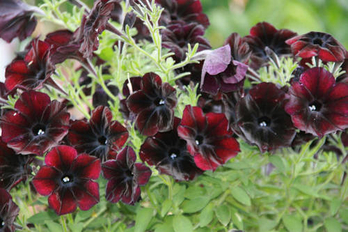 Как выращивать петунию из семян фото