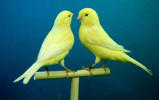 Птичка канарейка фото