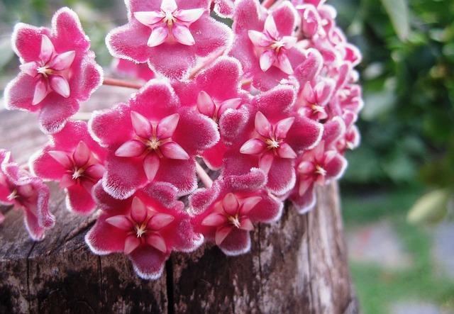 Хоя цветок, можно ли его держать дома