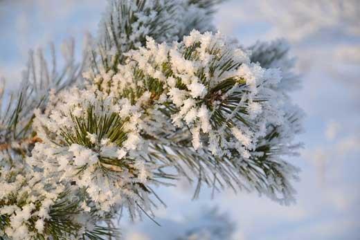 Живая сосна на Новый год: как правильно выбрать, перевезти и установить